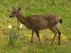 Deer and Daffodils